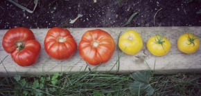 Wordless Wednesday: Tomatoes